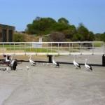 Pelikan-Fütterung Kalbarri