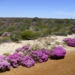 Kalbarri - Wildblumen