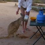 Känguru beim Wasser trinken