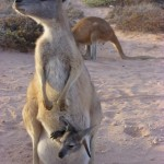 Känguru mit Jungem