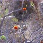 australische Blumen
