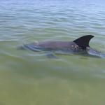 neugieriger Delfin