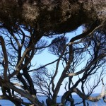 Yallingup Baum