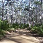 Karribäume Westaustralien