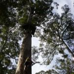 Klettern Dave Evans Bicentennial Tree