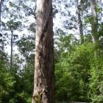 Größe Dave Evans Bicentennial Tree