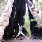Giant Tingle Tree Australien