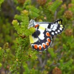 Stirling Range Schmetterling