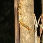 Centipede - Hundertfüßer