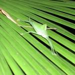 grünes Insekt