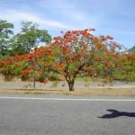 Atherton Tableland - Baum mit roten Blüten