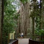Atherton Tableland Curtain Fig Tree - Baum von Ferne