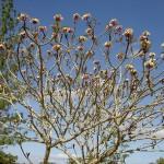 Atherton Tableland Granite Gorge - Blühender Baum