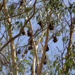 Townsville Billabong Sanctuary Fledermäuse im Baum