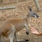 Townsville Billabong Sanctuary - Känguruh