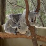 Townsville Billabong Sanctuary - Koala