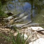 Townsville Billabong Sanctuary - Krokodile im Wasser