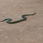 Townsville Billabong Sanctuary - Schlange auf Boden