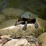 Townsville Billabong Sanctuary - Wasserschildkröte