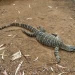 Townsville Billabong Sanctuary großer Lizard