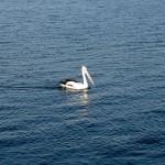 Rainbow Beach Tin Can Bay - Pelikan auf Wasser einzeln