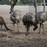 Emu Herde