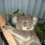 Koala Jungtier