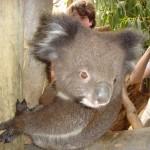 Koala jung