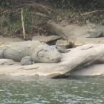 Krokodil Indien