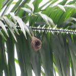Vogelnest an Palme