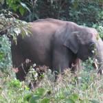 brauner elefant